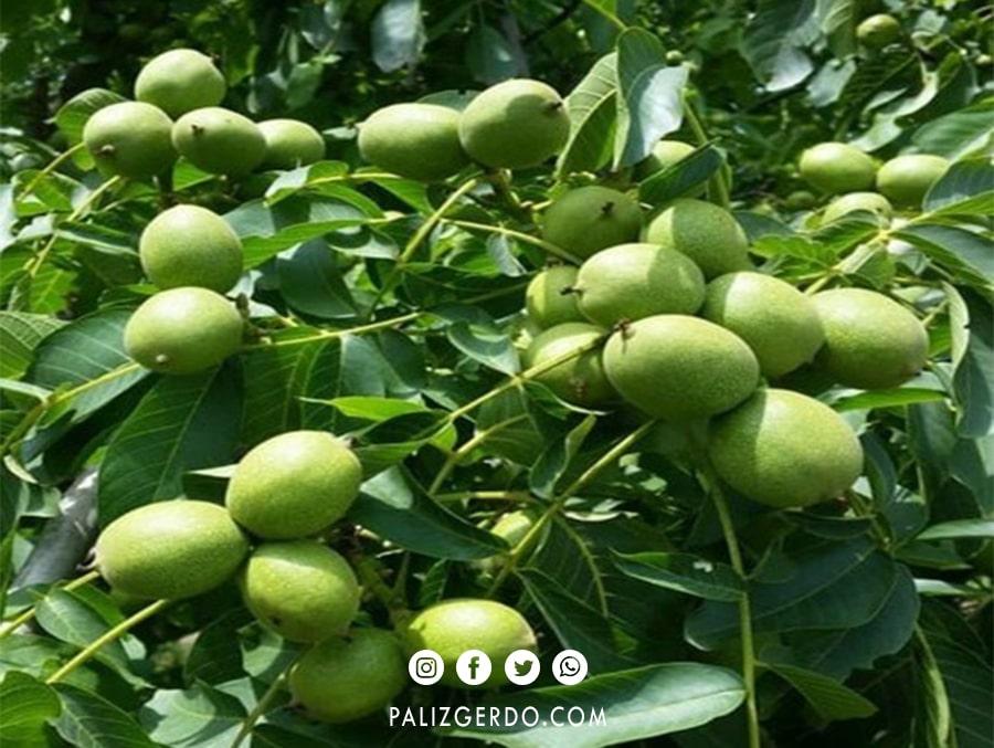 عکس باردهی گردو ایرانی
