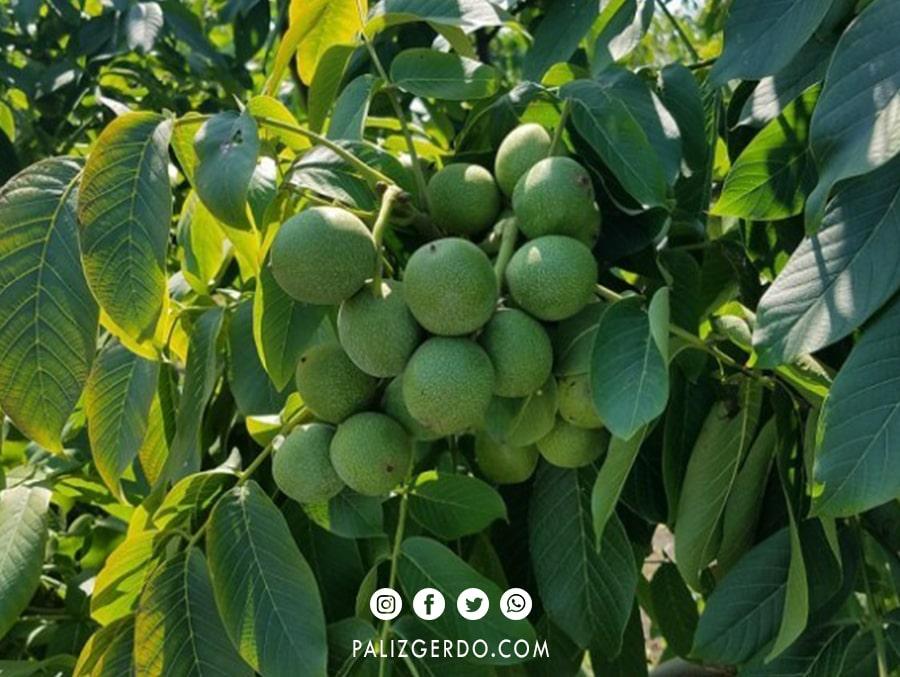 باردهی درخت گردو مراغه