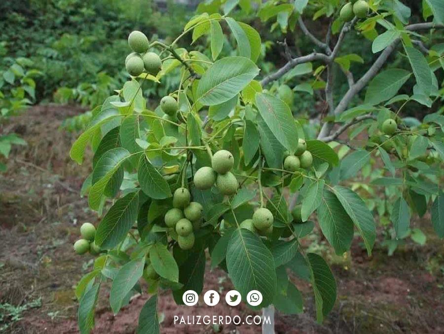 درخت گردو ایرانی