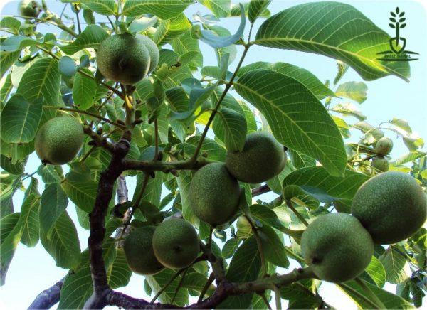 درخت گردو شیلی