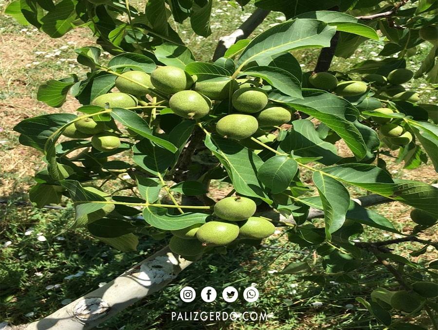 باردهی درخت گردو ترکیه