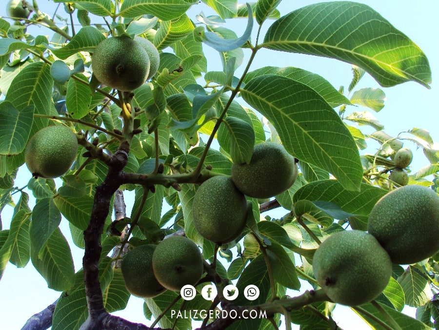 میزان باردهی درخت دیرگل