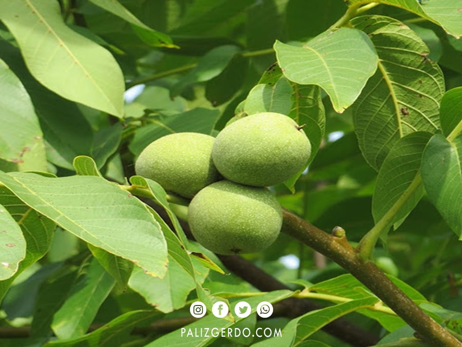 باردهی درخت گردو لارا