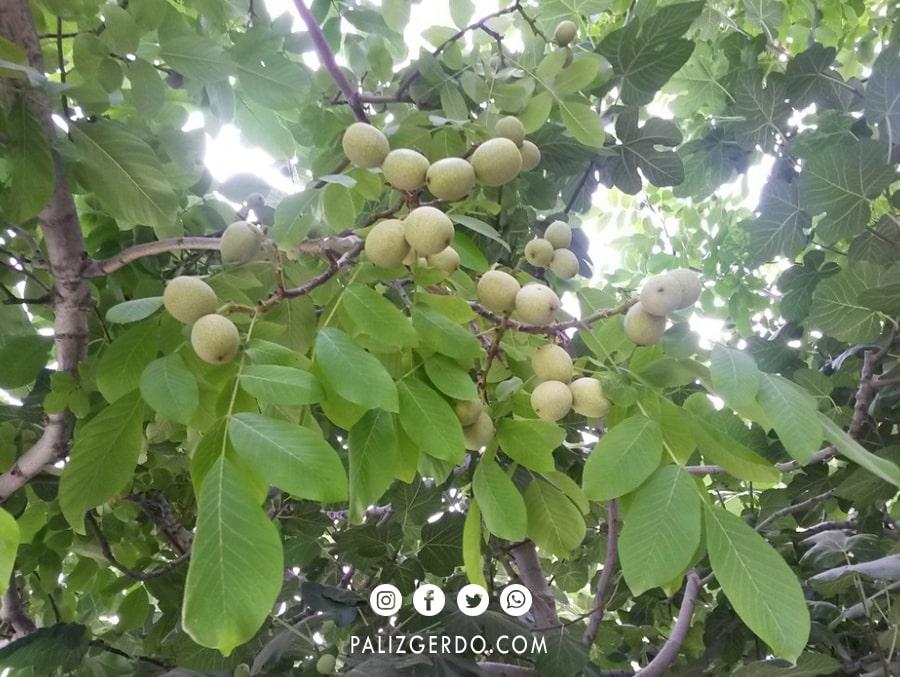 محصول دهی درخت گردو خوشه ای تویسرکان