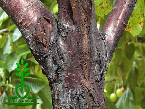 بیماری درخت گردو