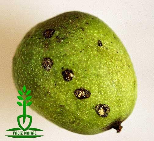 بیماری آنتراکنوز روی میوه گردو