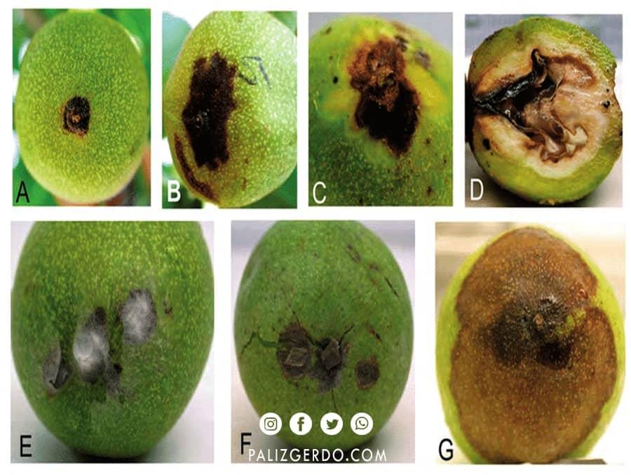 علائم بیماری بلایت گردو میوه