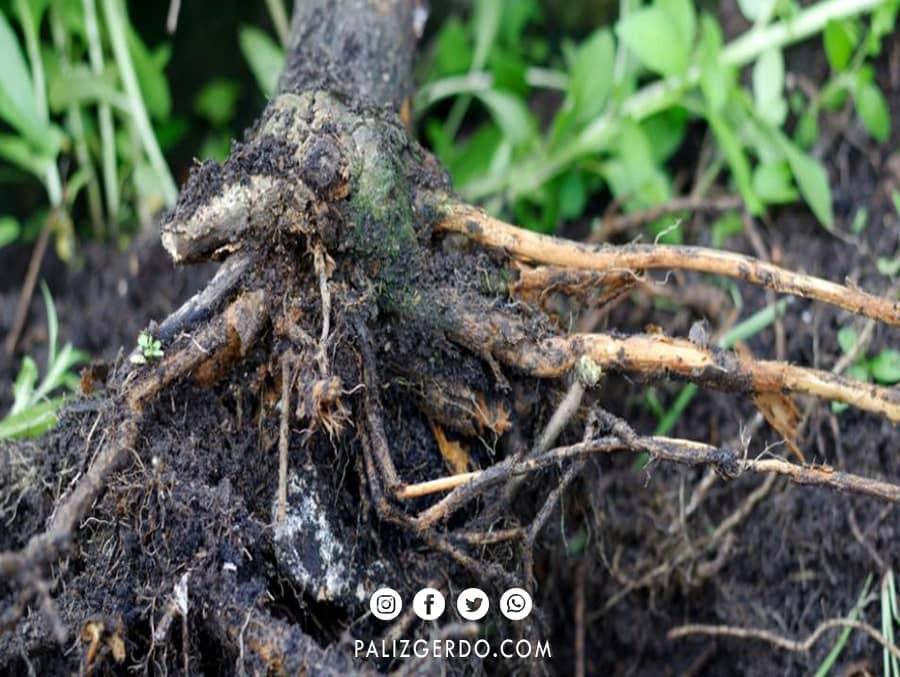 علائم بیماری در ریشه درخت گردو