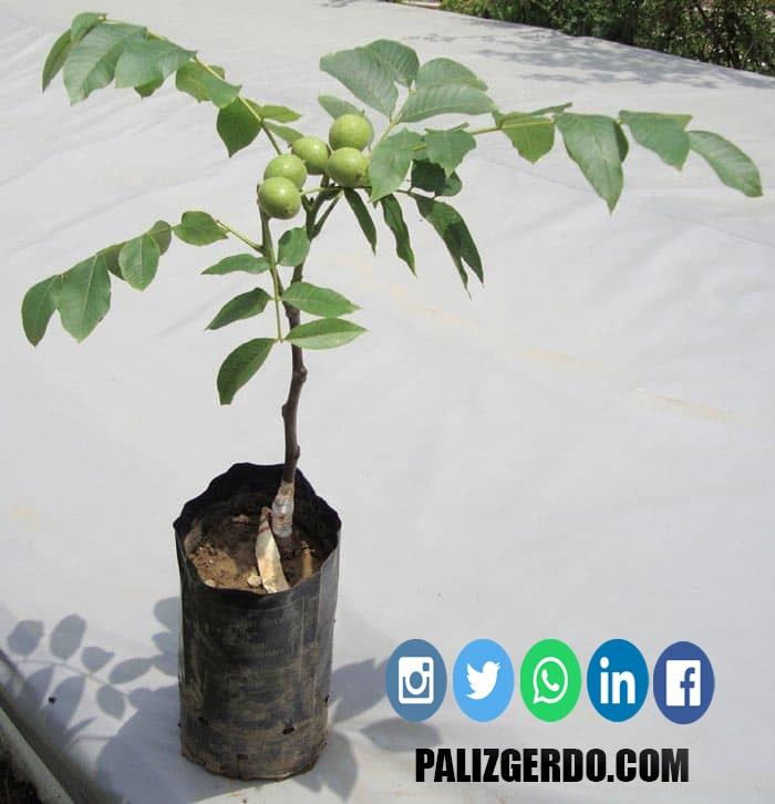 درخت گردو چندلر