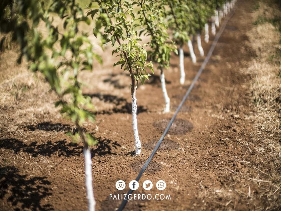 آبیاری کم و یا بیش از حد، نتیجه ای متفاوت با پربار شدن درخت گردو