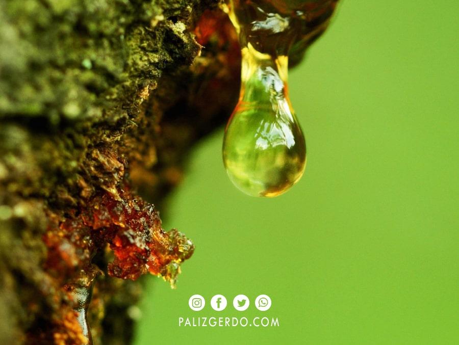 مصرف شیره درخت گردو