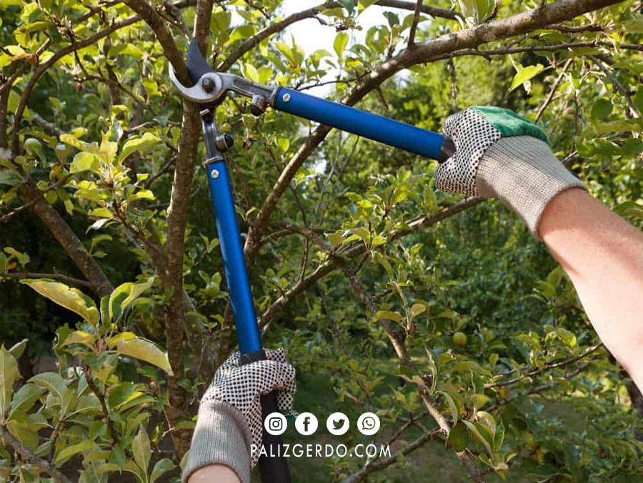 هرس کردن در درختان جوان و کهنسال