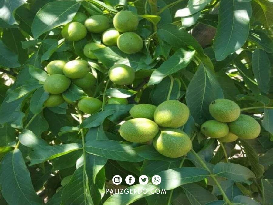 ارزیابی و تقویت درخت گردو