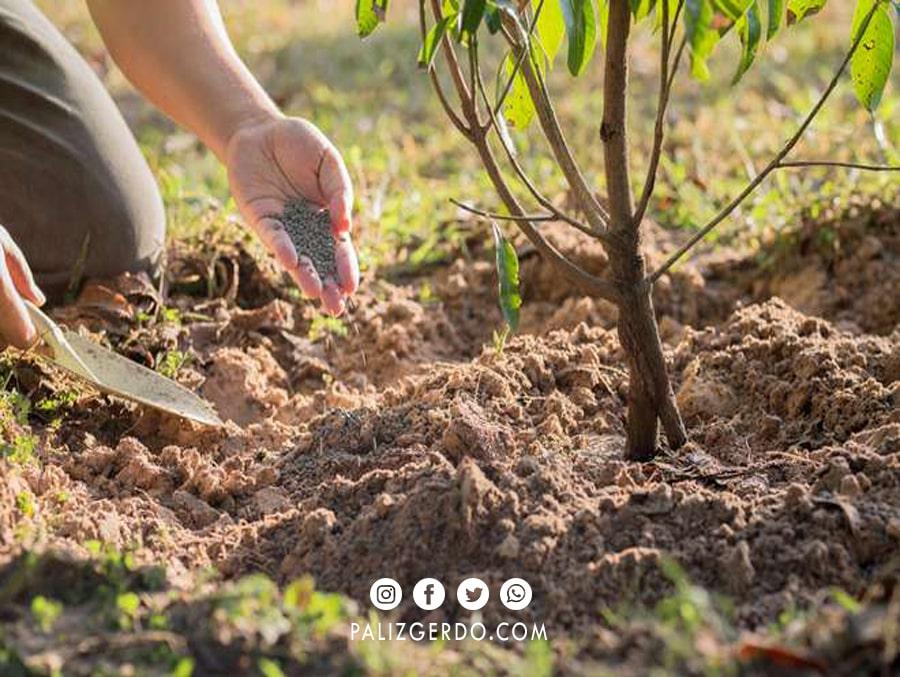 کود دهی مناسب است که پربار شدن درخت گردو را تضمین می کند