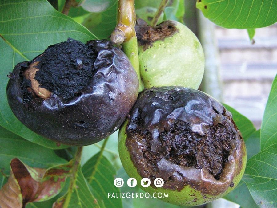 درمان انواع بیماری درختان گردو