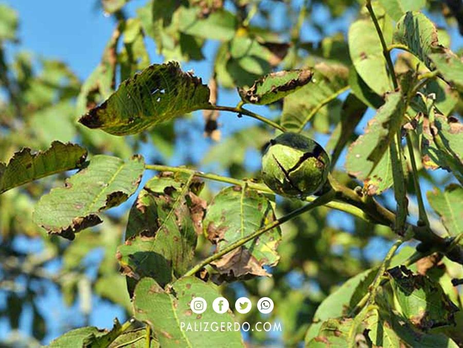 درمان بیماری سیاهی برگ درخت گردو
